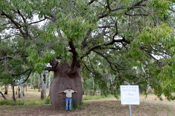 Roma - Largest Bottle Tree (Qld)