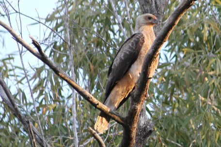 Whistling Kite (Qld)