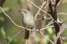 Brown Honeyeater (Qld)