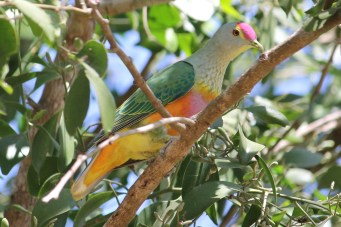 Rose-crowned Fruit Dove - Berry Springs (NT)
