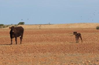Anna Creek Station - Cattle (SA)