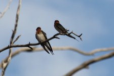 Welcome Swallows - Bowra Wildlife Reserve (Qld)
