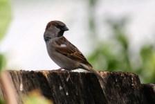 House Sparrow - Male - Kidmans Camp, Bourke (NSW)