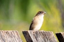 House Sparrow - Female - Kidmans Camp, Bourke (NSW)