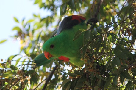 Red-winged Parrot - Male - Kidmans Camp, Bourke (NSW)