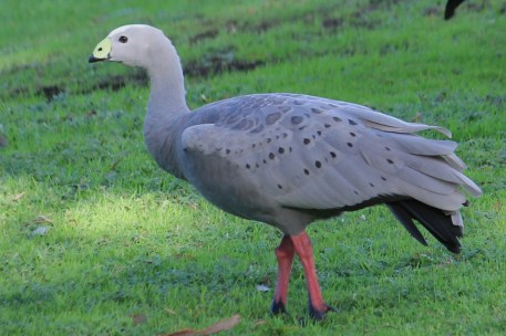 Cape Barren Goose - Mt Gambier - Valley Lake Area (SA)