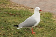 Silver Gull - Adult - Port Lincoln Foreshore (SA)