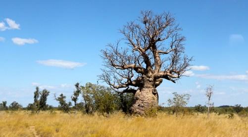 Derby - Boab Tree (WA)