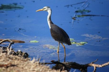 Pied Heron - Fitzroy Crossing (WA)