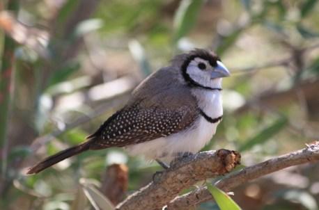 Double-barred Finch - Bungle Bungle Caravan Park (WA)