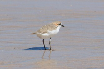 Red-capped Plover - Barn Hill Station (WA)