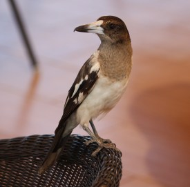 Pied Butcherbird - Juvenile - Barn Hill (WA)