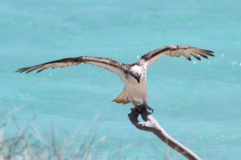 Eastern Osprey - Osprey Bay, Cape Range National Park (WA)