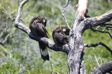 "White-tailed Black-Cockatoos - ""Afternoon Sleep"" - Peaceful Bay (WA)"