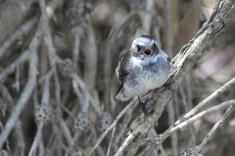 Grey Fantail - Duke Of Orleans Bay (WA)