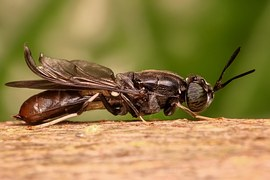 soldier-fly-1127661__180
