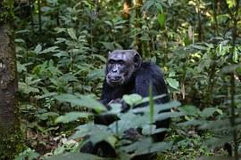 chimpanzee-898756__180 (1)