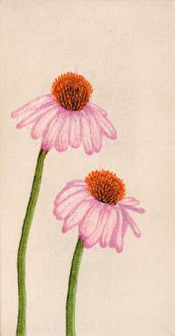 Dina-Rautenberg-Dinaeht-Echinacea