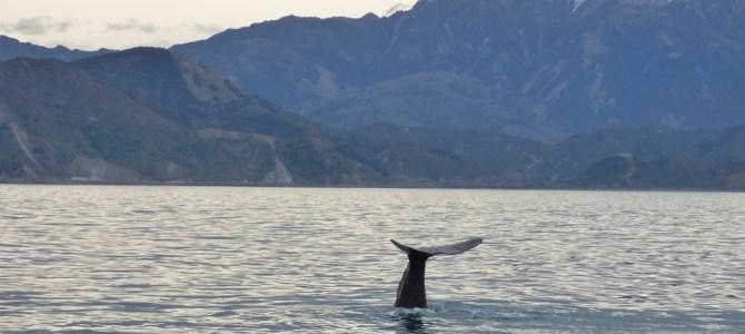 Día 13, Kaikoura y avistamiento de cachalotes