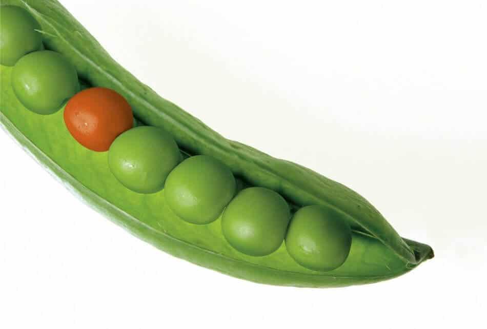 gambar kacang olong dengan kulitnya dengan satu warna yang berbeda, perbedaan warna kacang