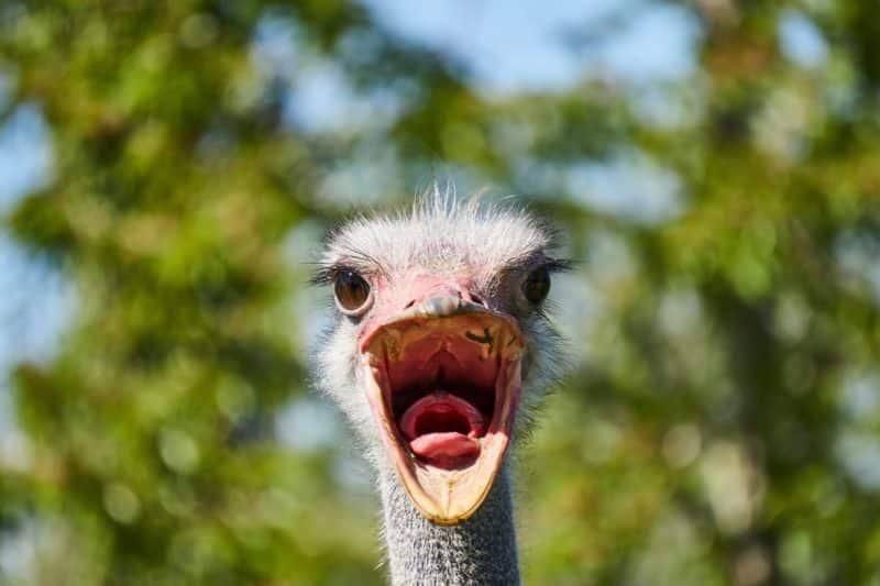 foto keren untuk profil whatsapp instagram telegram tiktok facebook line hewan lucu bebek berteriak membuka mulut close up dengan background langit dan daun