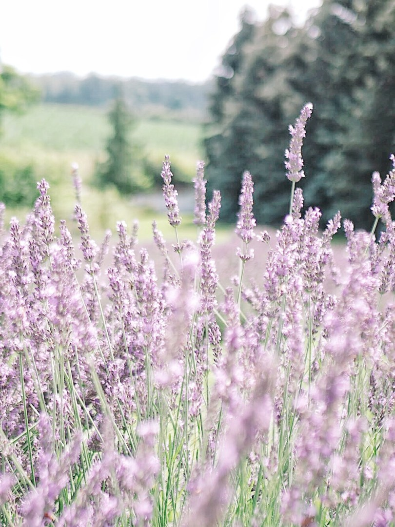Beautiful french lavender