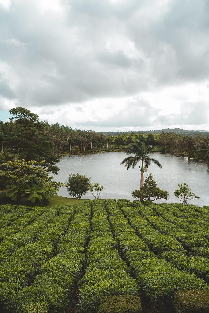 Bois Cheri tea plantation
