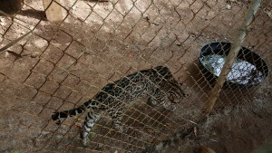 Wild cat in a large enclosure on Roatan