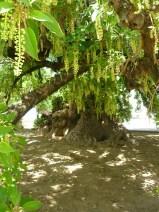 Le Belombra planté par le fils de C. Colomb en son honneur