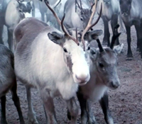 Stop reindeer abuse!