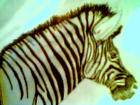 My mixed medium Zebra