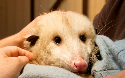 Opossum in My Overcoat: How I Saved Her That Night