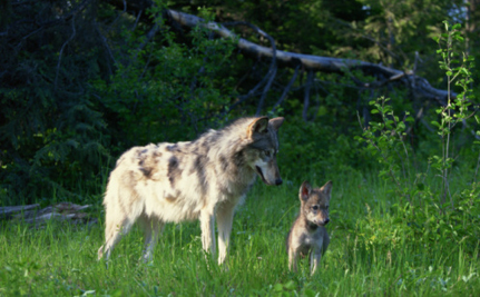Death Sentence Issued for Entire Pack of Endangered Wolves
