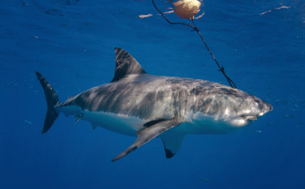 Western Australia's Plan to Protect People from Sharks is Terrible
