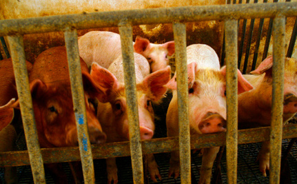 900 Dead Piglets Fed to Their Mothers at Horrific Kentucky Farm