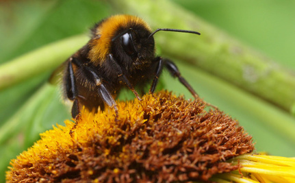 Britain's Honeybees are Dying, So Why is the UK Objecting to a Pesticides Ban?
