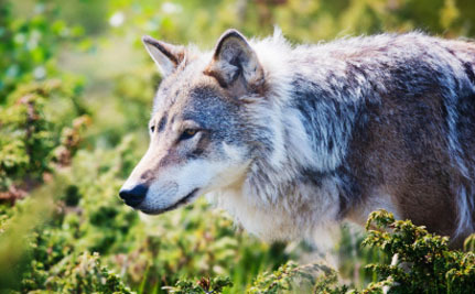 Idaho Wants to Make Wildlife Killing Contests an Annual Event