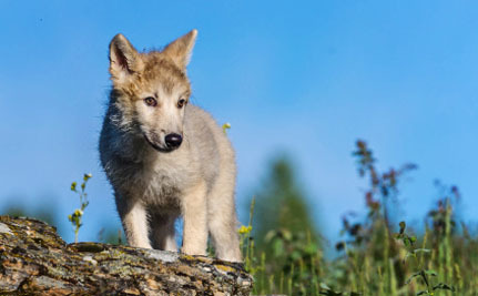 Oregon's Famous Wolf Welcomes More Pups