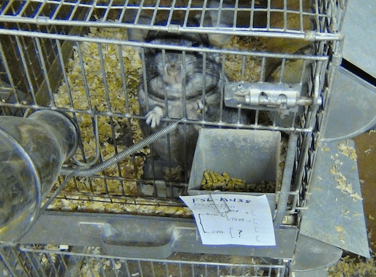 Caged chinchilla at fur farm