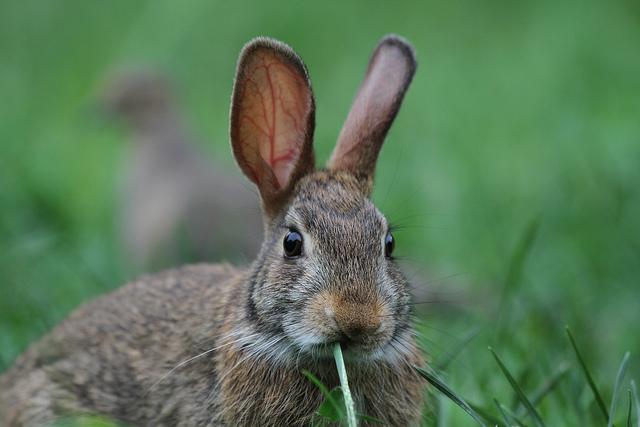 rabbit with big ears