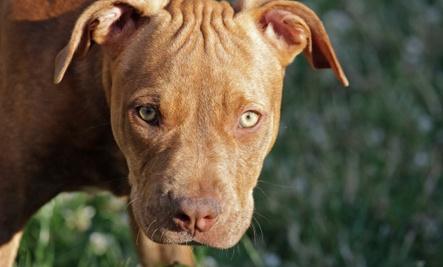 63 Pit Bulls Found at Murder Scene