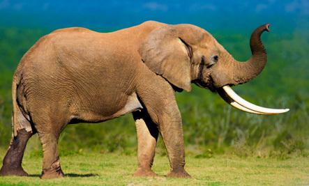 Elephant Escapes Death By Trampling Poacher