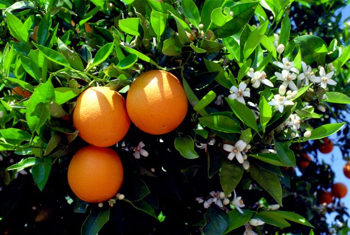13 Health Benefits of Oranges