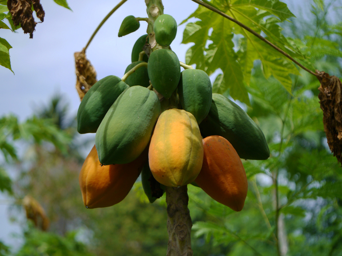 papaya on the tree.