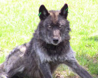 Save Oregon's Stuggling Wolf Population