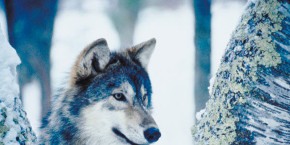 Stop Wolf Hunting Contest in Idaho