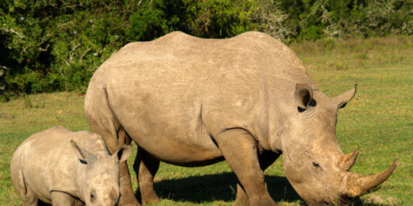 Tell South Africa's Kruger National Park to Stop Its Rhino Sale