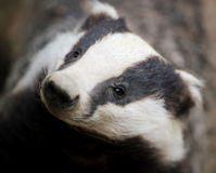 Stop Badger Suffering in the UK