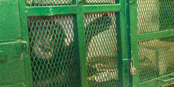 Chimpanzees Belong in Sanctuaries - Not Small Cages!