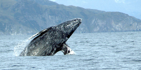 Don't Allow Whales to be Slaughtered off the Washington Coast!